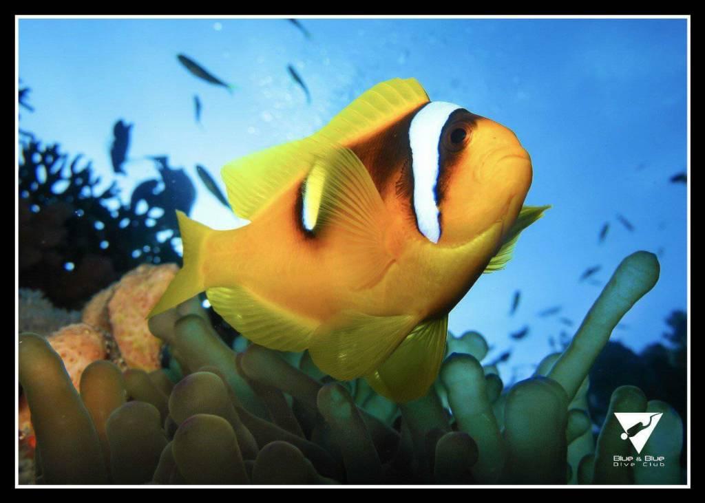 Clown Fish - Sharm el Sheikh Egypt